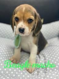 Beagles lindos Filhotes