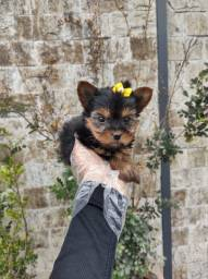Yorkshire Terrier tamanhos normal e micro!