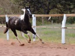 Paint horse registrada