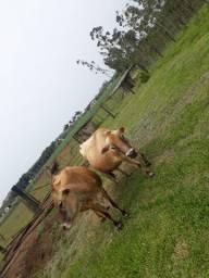 Vaca Gersey