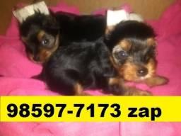 Canil Filhotes Cães Selecionados BH Yorkshire Poodle Shihtzu Lhasa Maltês Basset Beagle