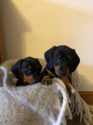 Teckel todos pedigree e suporte veterinario