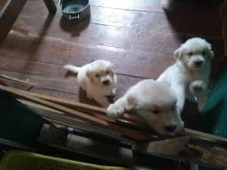 Filhotes de Golden a venda