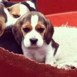 Beagle filhotes macho e fêmea, tricolor e bicolor ligue hoje