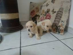 Filhotes de poodle número 1