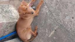 Vende-se cachorro basset com pintcher