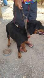 Vendo uma Rottweiler 700 reais