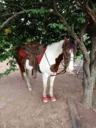 Vendo égua pint horse