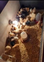 Pintinhos de galinhas caipira