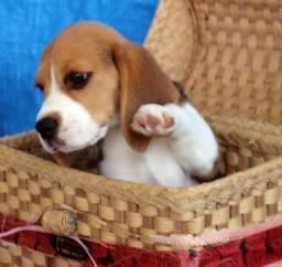 Filhotes de Beagle 13 polegadas, disponível em loja, bicolor e tricolor.