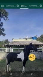 Cavalo MM  Pampa de preto, Macha Picada  5 anos.