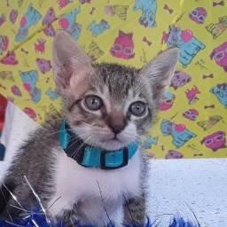 Doação lindo gato filhote machinho 50 dias