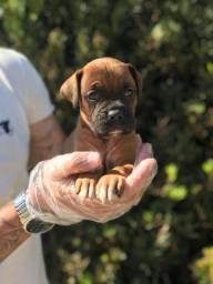 Boxer machos e femeas com garantias e suporte veterinário gratuito