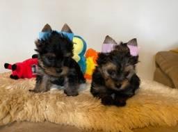 Yorkshire Terrier Porte Pequeno Fêmea e Macho