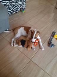 Filhote de pitbull mestiço, 2 meses
