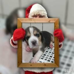 Bebês beagle