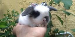 Raça mini fuzzy LOP