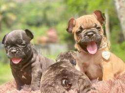Lindos Bulldogs Francês disponível pedigree lindos
