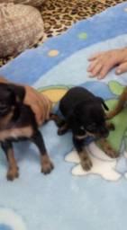 Chihuahua xxx pinscher valor 150 lindos