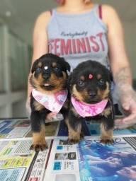 Rottweiler,com garantia de saúde, pedigree e auxilio veterinário