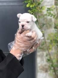Bulldog Francês filhotes lindinhos