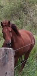 Cavalo quarto de milia registrado