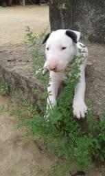 Bull Terrier adestrada com pedigree 1600 femea