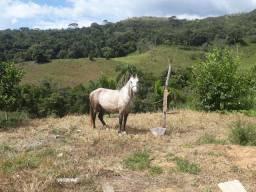 Lindo Cavalo para Cavalgadas