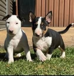 Filhotes de Bull Terrier incríveis