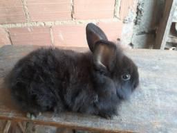 Vendo coelho mine León muito manso