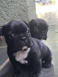 bulldog frances- lindos filhotes a pronta entrega!!!!