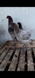 2 frangas e um frango da raça Gigante Azul de Jersey