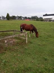Cavalo lindo venda..
