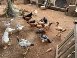 Patos / Frango e galinhas caipiras