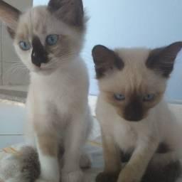 Linda ninhada de gatinhos Mestiços, Siamês  com Sagrado da Birmânia