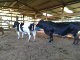 Vendo duas mini vacas um mini boi