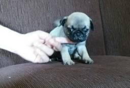 Pug PURO TOP! com Pedigree