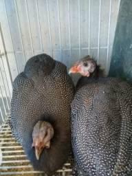 Aves 70 reais