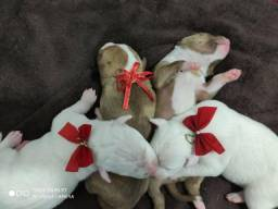 American Pit bull starforchaire