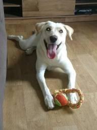 Doa-se Labrador