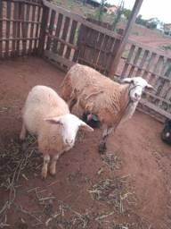 Vende-se uma ovelha e um carneiro