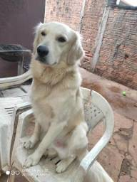 Golden retriever procura namorada