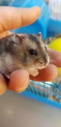 Hamster - entrega gratuita