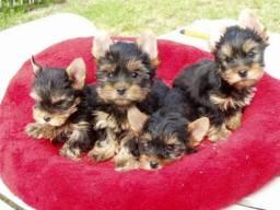 Yorkshire Terrier tamanhos micro e normal!