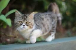 Gatos munchkin (perna curta)