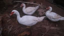 Casal de Patos pra criação