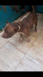 Vende se pitbull macho