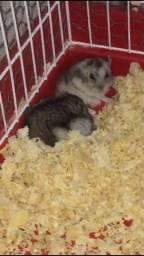 Vendo filhotes de hamster chinês