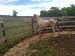 Paint horse avenda