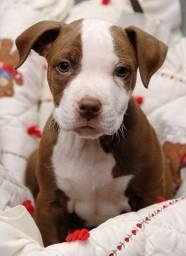 Pitbull filhote disponível